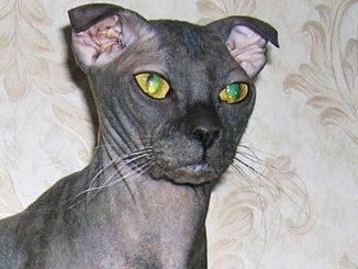černé kočička nahé fotky
