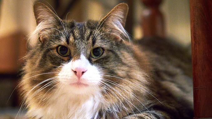 velká zadní kočička