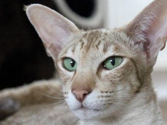 Velká plešatá kočička fotky